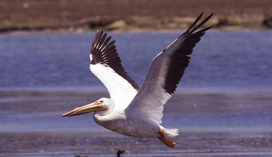 White pelicans, which can range to a 9-foot wingspan and weigh 25 pounds, are rare on the Pacific Coast, but up to 300 per trip have been sighted in Elkhorn Slough Photo: Giancarlo Thomae, KayakWhaleWatching.com