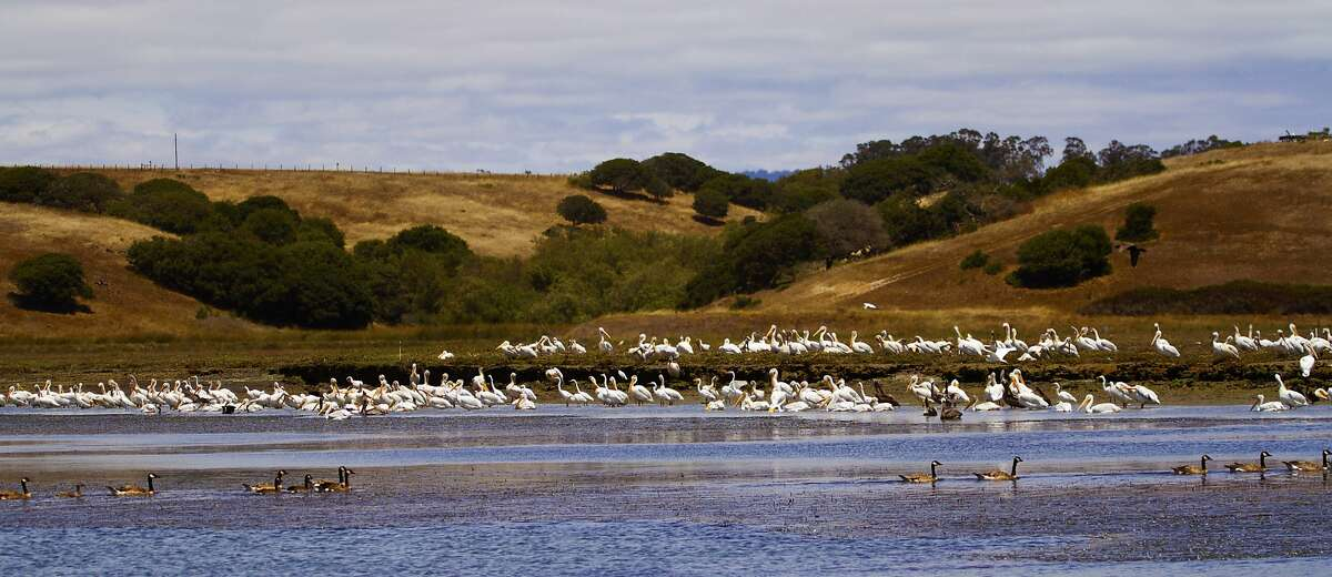 White pelicans, which can range to a 9-foot wingspan and weigh 25 pounds, are rare on the Pacific Coast, but up to 300 per trip have been sighted in Elkhorn Slough at Moss Landing on Monterey Bay