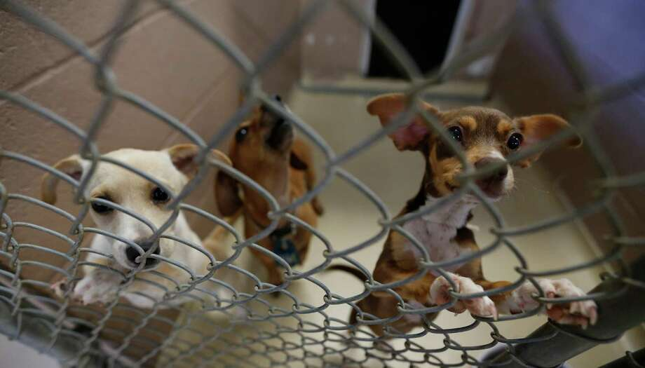 Dogs share a cage at the Harris County veterinary public health shelter. (Karen Warren / Houston Chronicle ) Photo: Karen Warren, Staff / © 2015 Houston Chronicle
