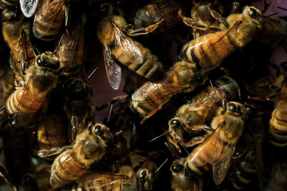 Bees pollinate plants that we rely on for one in every three bites of food we take. They add an estimated $15 billion in value to agricultural crops each year.  (AP Photo / Jake May) Photo: Jake May, MBI / The Journal