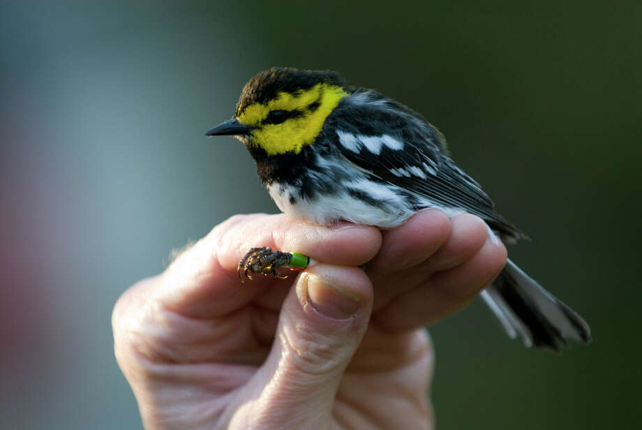 Fort Hood has a large population of golden cheeked warblers. Despite the military training that takes place here, these rare birds thrive because of land and wildlife management practices. Photo: Mark Matson, Freelance / Freelance