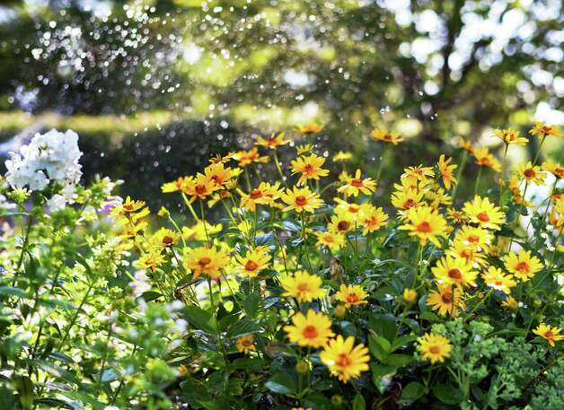 Flowers under a sprinkler Thursday July 16, 2015 at the Crossings in Colonie, NY.  (John Carl D'Annibale / Times Union) Photo: John Carl D'Annibale / 00032648A