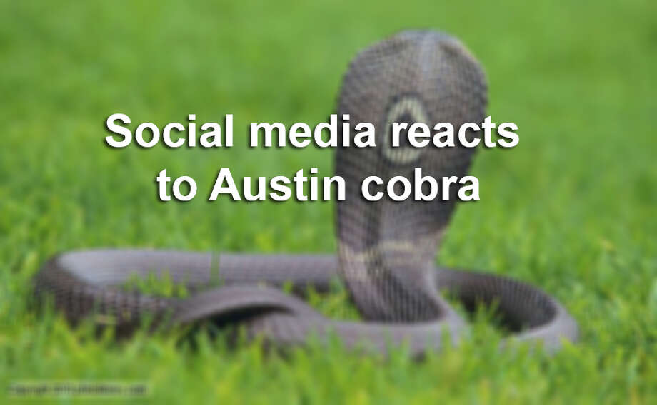 Social media reactions to the Austin Monocled Cobra. Photo: Photolibrary.com, Courtesy / Copyright 2010 photolibrary.com