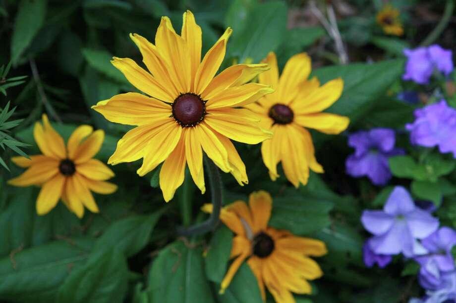 'Indian Summer' rudbeckia and petunias in Marston Garden Photo: Jill Hunter, Freelance / Freelance