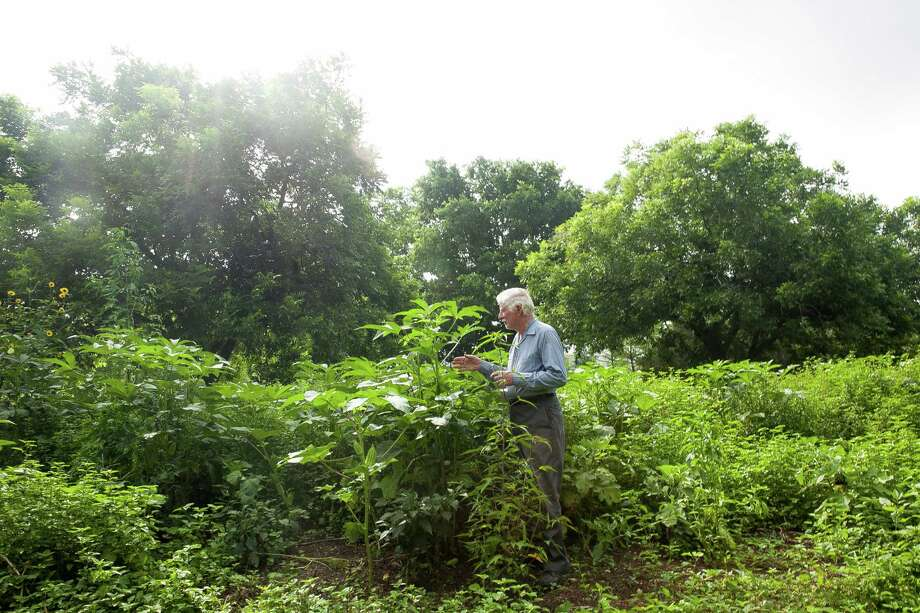 Beck's Big Buck Horn okra is among the vegetables growing in Delphine and Malcolm Beck's vegetable garden. Photo: Julysa Sosa /For The Express-News / Julysa Sosa For the San Antonio Express-News