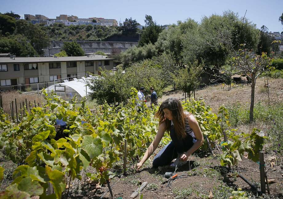 Elly Hartshorn at her small vineyard at Alemany Farm in San Francisco. Photo: Michael Macor, The Chronicle