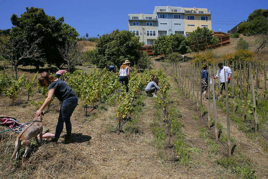 Volunteers fan out on the hillside vineyard of Elly Hartshorn at Alemany Farm in San Francisco, Calif., as seen on Sat. July 18, 2015. Elly Hartshorn started her vineyard--by planting grapes in a slice of parkland above the Alemany Farmers Market, where she volunteered. Photo: Michael Macor, The Chronicle