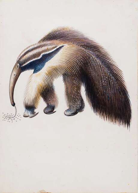 "Miguel Covarrubias' watercolor of a ""Giant Anteater"" was an illustration from ""John and Juan in the Jungle."" Photo: Courtesy / San Antonio Musuem Of Art"