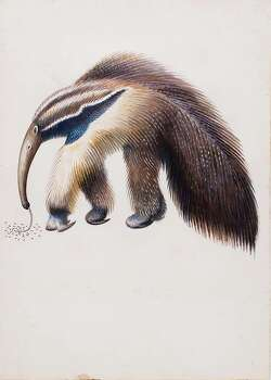 """Miguel Covarrubias' watercolor of a """"Giant Anteater"""" was an illustration from """"John and Juan in the Jungle."""" Photo: Courtesy / San Antonio Musuem Of Art"""