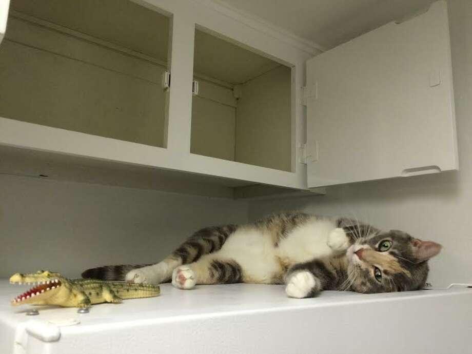 My cat, enjoying the decluttered shelves.