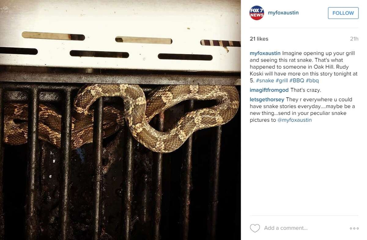 This My Fox Austin Instagram screenshot shows a Texas rat snake found by Austin man Andrew Barlow on Sunday, July 19, 2015. He found the snake in his barbecue pit at his home.