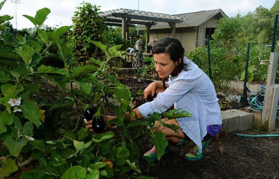 Sarah Mundy, project coordinator of the community garden at the Alden Bridge Sports Park, harvests egg plant during a work session at the garden in The Woodlands on Saturday, July 18, 2015. (Photo by Jerry Baker/Freelance) Photo: Jerry Baker, Freelance