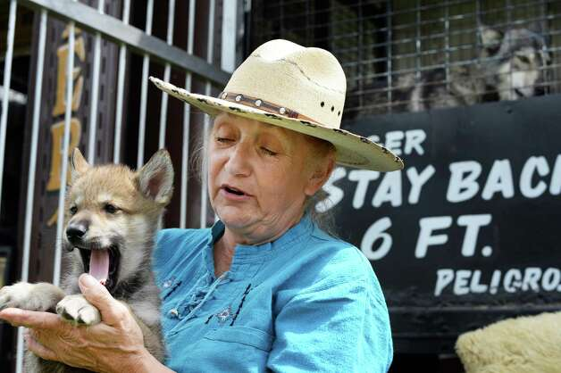 Sharon Sandlofer of Windham holds Lobo, a 7-week-old Eastern Timber wolf at her Wolves of the World show at the Saratoga County Fair Tuesday July 21, 2015 in Ballston Spa, NY.  (John Carl D'Annibale / Times Union) Photo: John Carl D'Annibale / 00032674A