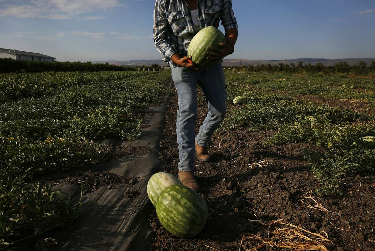 Alberto Flores, 29, harvests melons on Flores' leased farm land July 21, 2015 in Tracy, Calif. Flores started his farming business Arya Farm Produce with Sam Aziz five years ago. He leases 40 acres of land and is only farming 20 acres of it because of the drought. Flores sells his produce along with other produce he purchases locally in a small store on the edge of his land. He says water prices have made things difficult for his small, organic operation this year. When he started five years ago he recalls the price for an acre foot of water was 19 dollars as compared with about 250 dollars today.