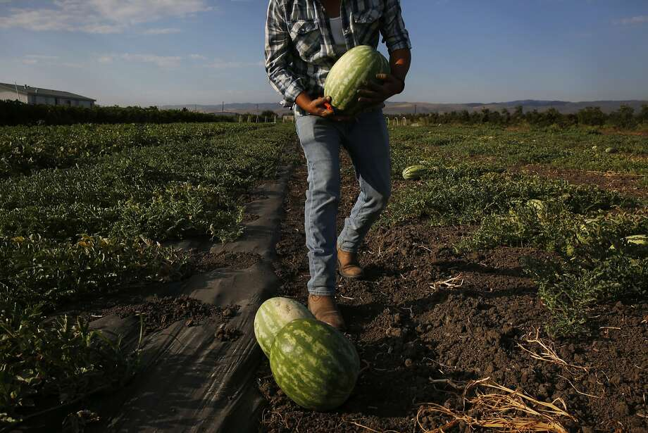 Alberto Flores, 29, harvests melons on Flores' leased farm land July 21, 2015 in Tracy, Calif. Flores started his farming business Arya Farm Produce with Sam Aziz five years ago. He leases 40 acres of land and is only farming 20 acres of it because of the drought. Flores sells his produce along with other produce he purchases locally in a small store on the edge of his land. He says water prices have made things difficult for his small, organic operation this year. When he started five years ago he recalls the price for an acre foot of water was 19 dollars as compared with about 250 dollars today. Photo: Leah Millis, The Chronicle