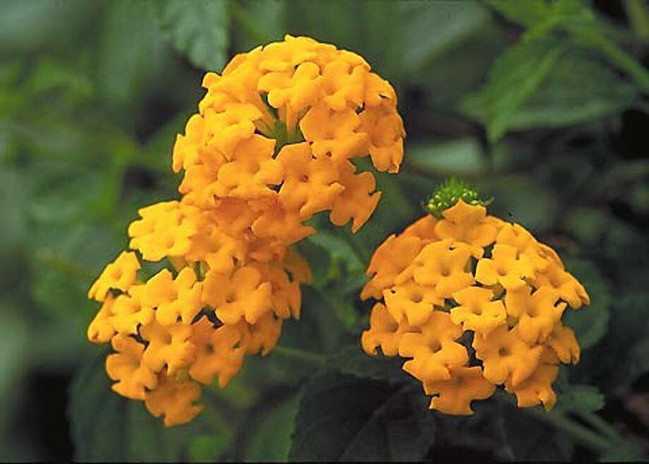 Remove faded blooms to keep New Gold lantana golden. Photo: Courtesy Monrovia