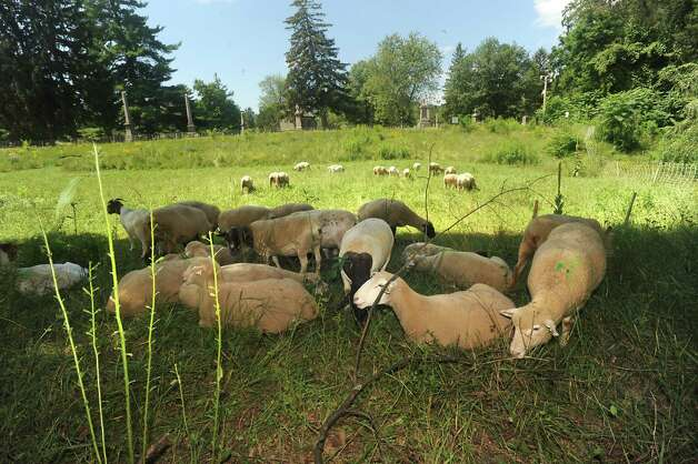 Sheep and goats from Cobleskill College replace mowing the grass at Historic Vale Cemetery on Tuesday, July 21, 2015 in Schenectady, N.Y. The Natural Burial Area at Vale Cemetery is where ruminant animals are used. This area is free of herbicides and insecticides.  (Lori Van Buren / Times Union) Photo: Lori Van Buren / 00032688A