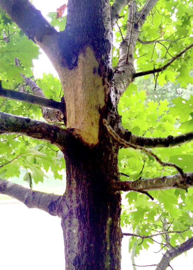 Chunks of missing bark on a Shumard red oak indicate a serious problem, likely Hypoxylon canker. The fungal disease became more prevalent during the drought. Photo: Courtesy Photo