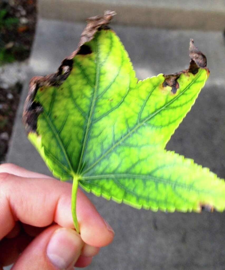 Favorite Sweet Gum Tree Diseases - Garden Design Ideas EG02