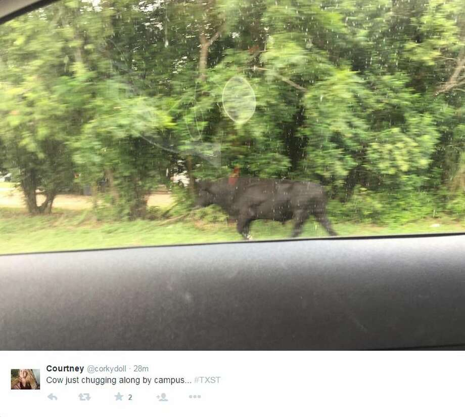 """Cow just chugging along by campus... #TXST"" @corkydoll Photo: Medina, Mariah, Courtesy Photo"