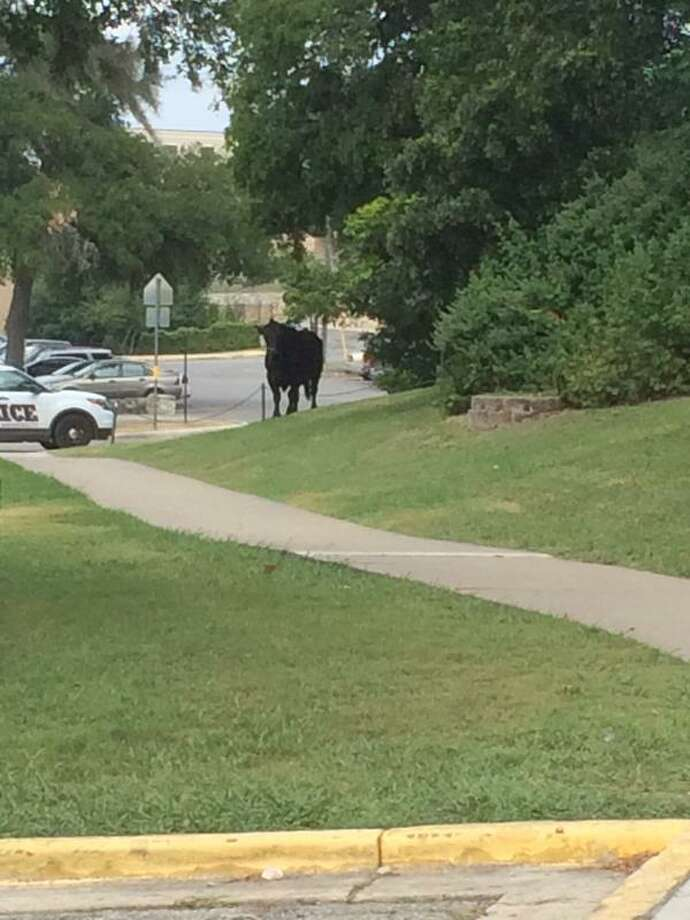 "On Wednesday morning, Texas State University issued an alert informing recipients that there was ""loose livestock (bull)"" on campus. Kimberly Carpio got a photo of the bull on the loose."