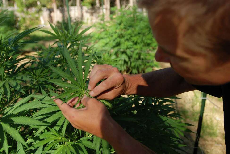 Cedar Grey, president of the Oregon SunGrown Growers' Guild, shows off a female flower on a medical marijuana plant in his garden in Williams, Ore., on June 25, 2015. A ballot measure making recreational marijuana legal in Oregon starts going into effect July 1, when people can grow and possess marijuana for their own use. Retail sales won't start for months or more than a year, depending on the Legislature and regulators. Meanwhile, growers like Grey hope to make a living from cannabis in this new era of legal sales, but experts warn it will not be easy. (AP Photo/Jeff Barnard) ORG XMIT: ORJB103