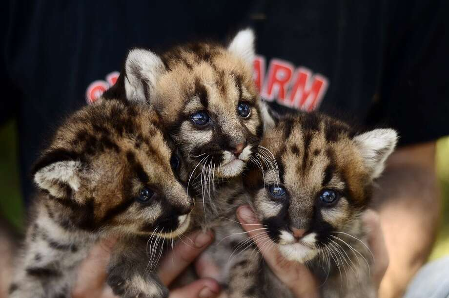 The Animal World & Snake Farm Zoo in New Braunfels have added three mountain lion cubs to its collection of animals at the park. Photo: Courtesy Photo/Animal World & Snake Farm Zoo
