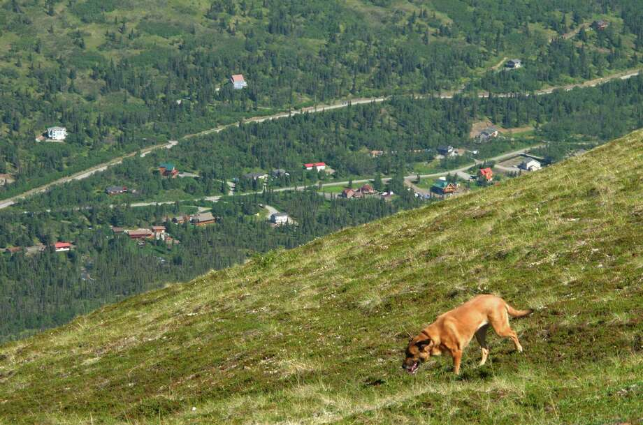 This June 17, 2015 photo shows a dog wandering at the end of a trail at Arctic Valley above a neighborhood in the suburb of Eagle River in the greater municipality of Anchorage, Alaska. The valley is a hiking and blueberry picking destination in a serene setting at the end of a 6-mile gravel road. (AP Photos/Rachel D'Oro) ORG XMIT: MER2015072018530723 Photo: Rachel D'Oro / AP