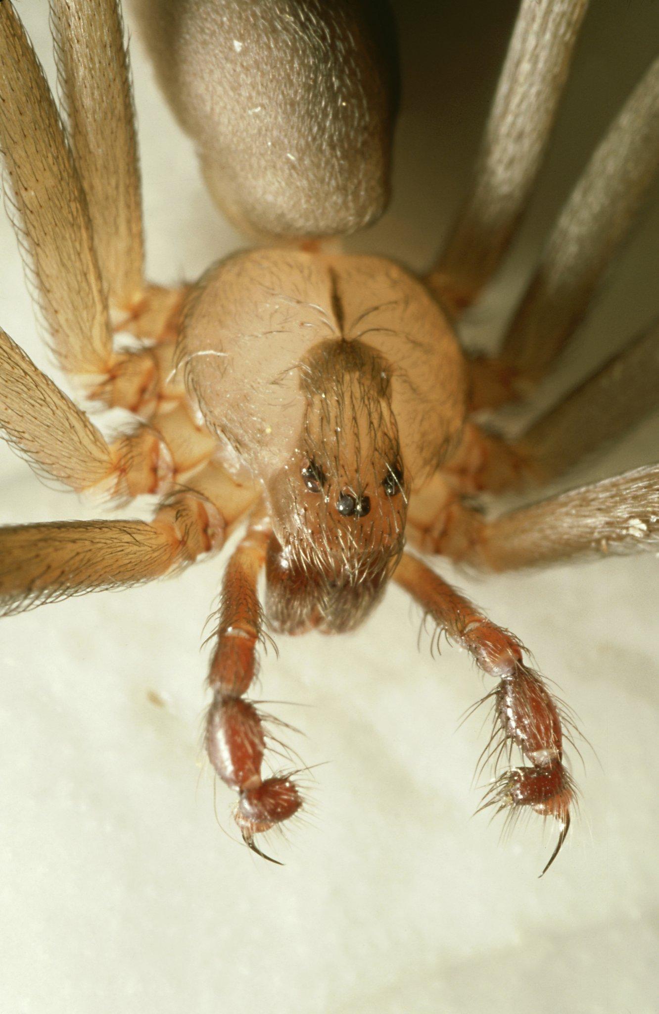 brown recluse spider bites - 640×985