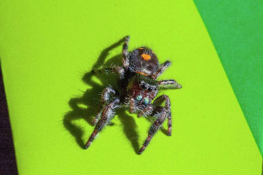 Jumping spiders can leap astounding distances. Photo: Sheryl Smith-Rodgers / For The Express-News