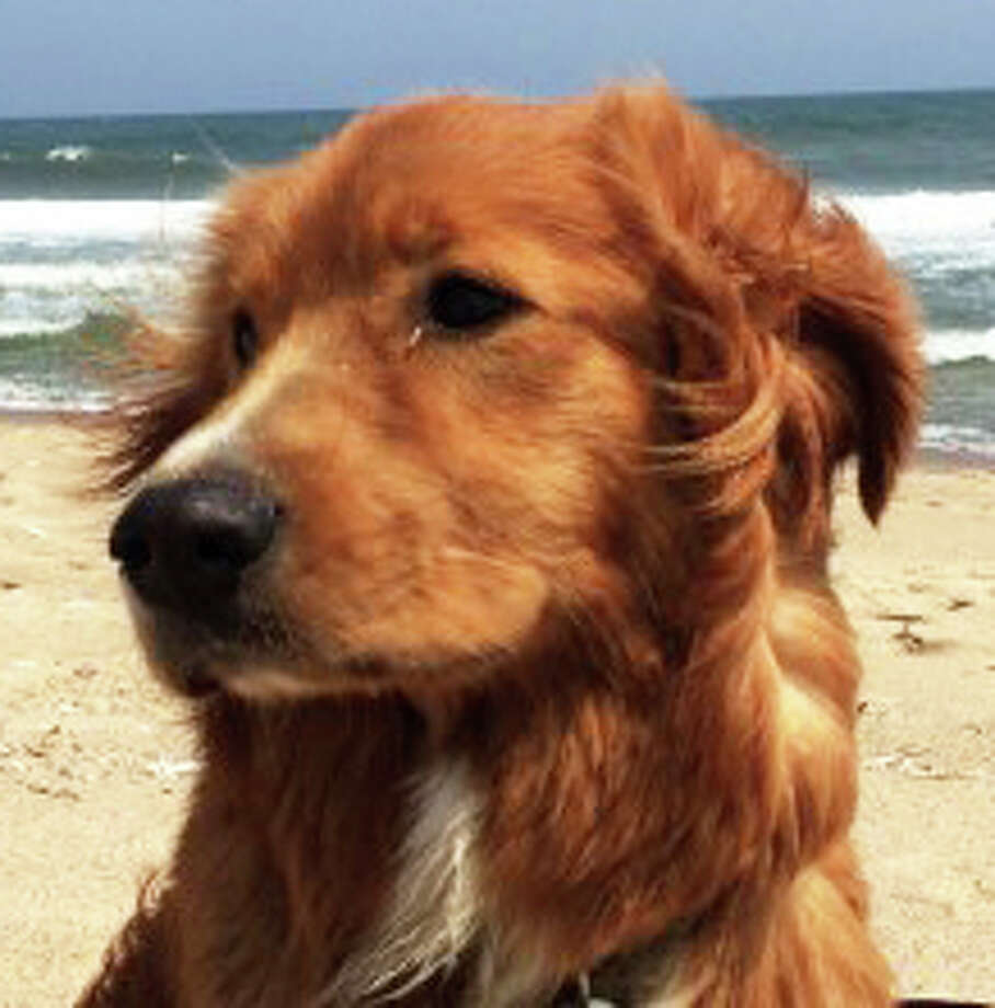 "Columnist Hank Herman's dog, Kemba, the Nova Scotia Duck Tolling Retriever, ""retrieves. He will fetch balls in the sand. He will fetch balls in the foamy white water. He will fetch balls in the big breakers. He likes to include everyone in his game."" Photo: Contributed Photo / Westport News"