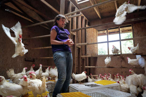 Adoption coordinator Jacinda Virgin frees chickens from their transport crates at Animal Place in Vacaville.