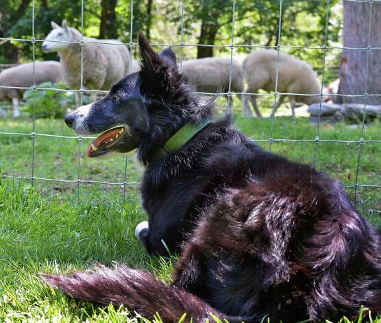 Eric Johnson's border collie Rhos with sheep Thursday July 16, 2015, at his Johnson Family Farm, a stop on the Outdoor Museum tour in New Lebanon, NY.  (John Carl D'Annibale / Times Union) Photo: John Carl D'Annibale / 00032639A