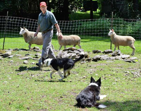 Eric Johnson directs his border collies as they herd sheep Thursday July 16, 2015, at his Johnson Family Farm, a stop on the Outdoor Museum tour in New Lebanon, NY.  (John Carl D'Annibale / Times Union) Photo: John Carl D'Annibale / 00032639A