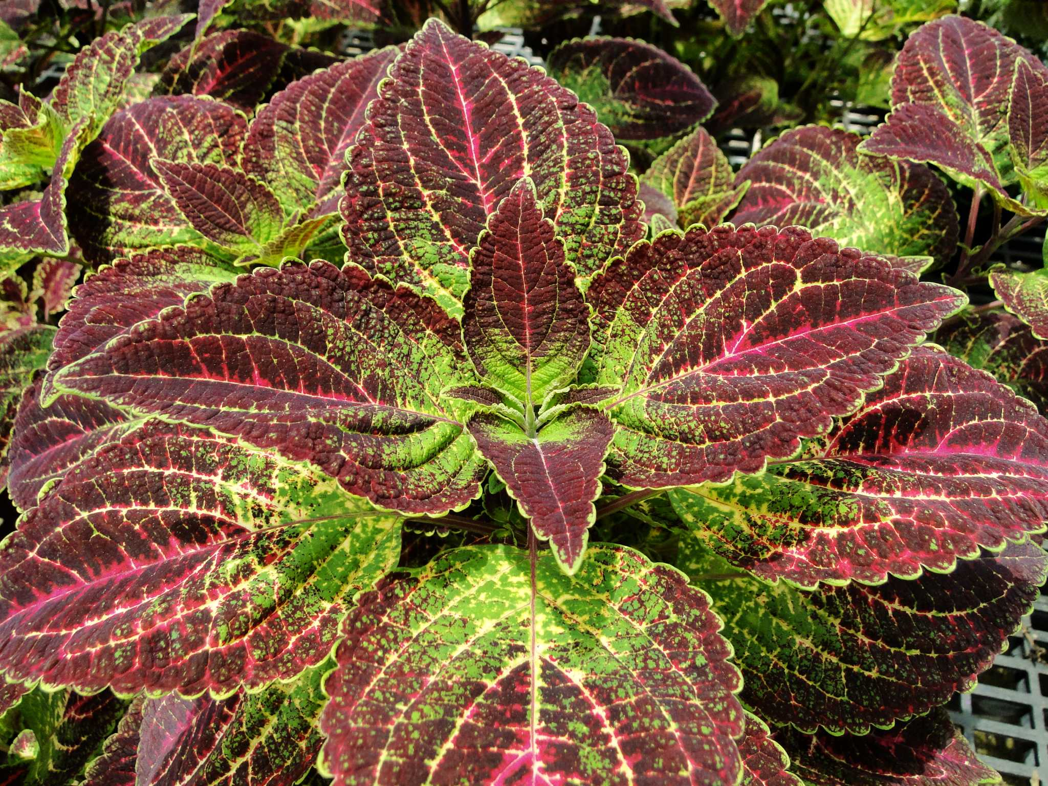 Want lots of color in your garden? Try something different - foliage ...