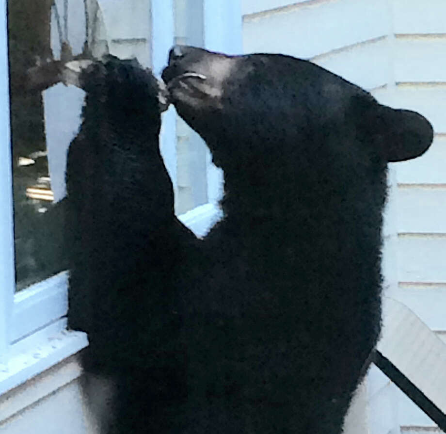 This black bear was attracted to the bird feeder at the Charcoal Hill Commons home of Barbara Ross-Innamorati on Friday morning. Photo: Barbara Ross-Innamorati / Barbara Ross-Innamorati / Westport News