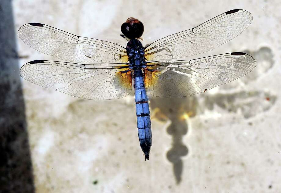 A dragonfly floats on the top of water in a bucket at a Byram Road home. Photo: Bob Luckey / Bob Luckey / Greenwich Time