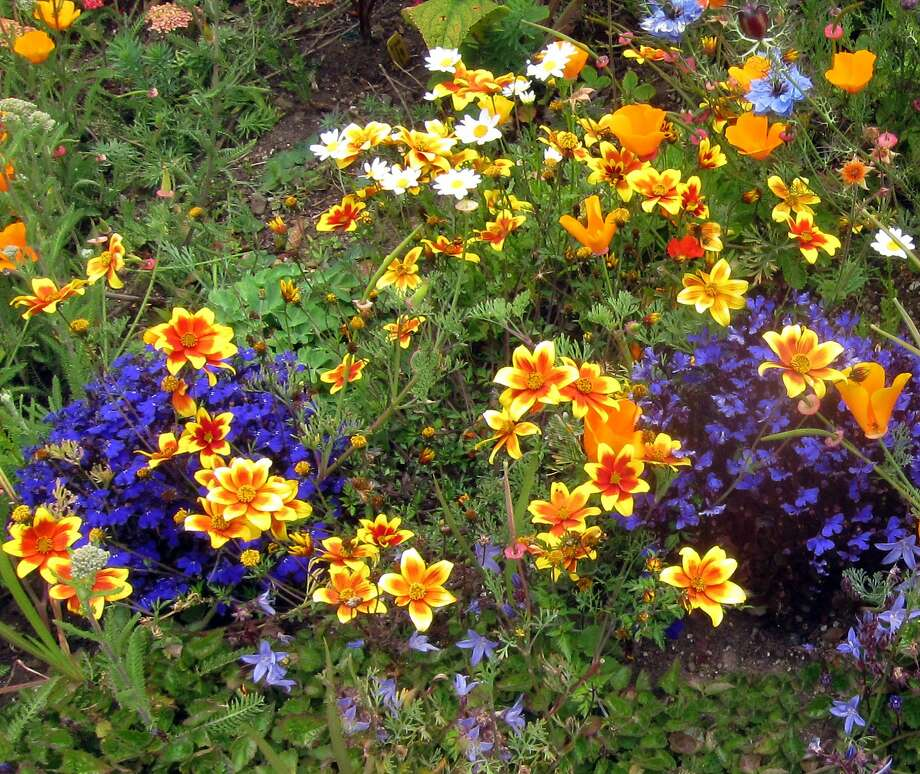 Bidens Hawaiian Flare 'Red Star' brightens this border along with blue lobelia. Photo: Pam Peirce