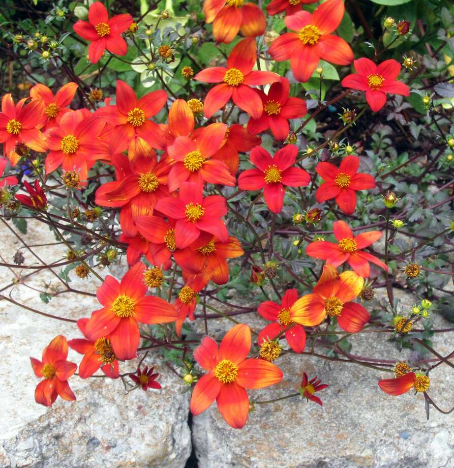 Bidens Hawaiian Flare 'Red Drop' has scarlet flowers while its foliage is almost black if it grows in full sun. Photo: Pam Peirce