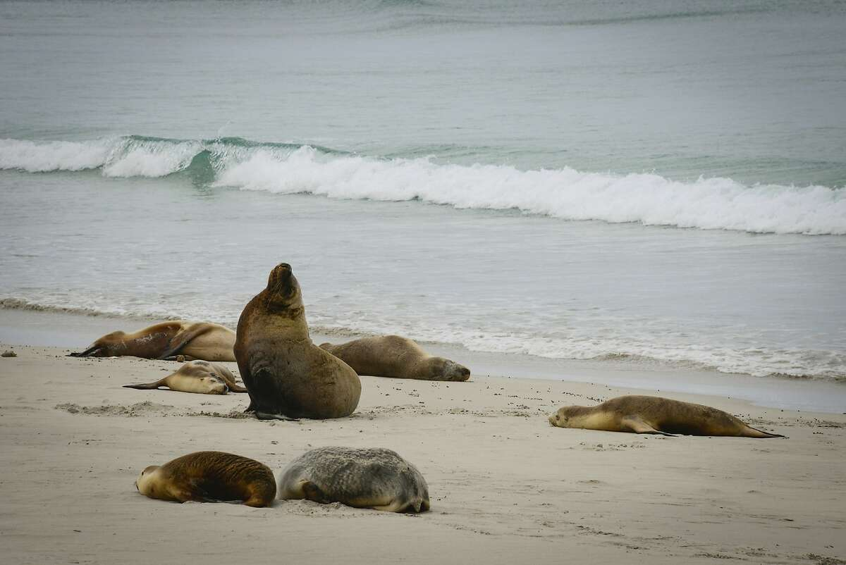 Seal Bay is home to nearly 1,000 Australian sea lions.