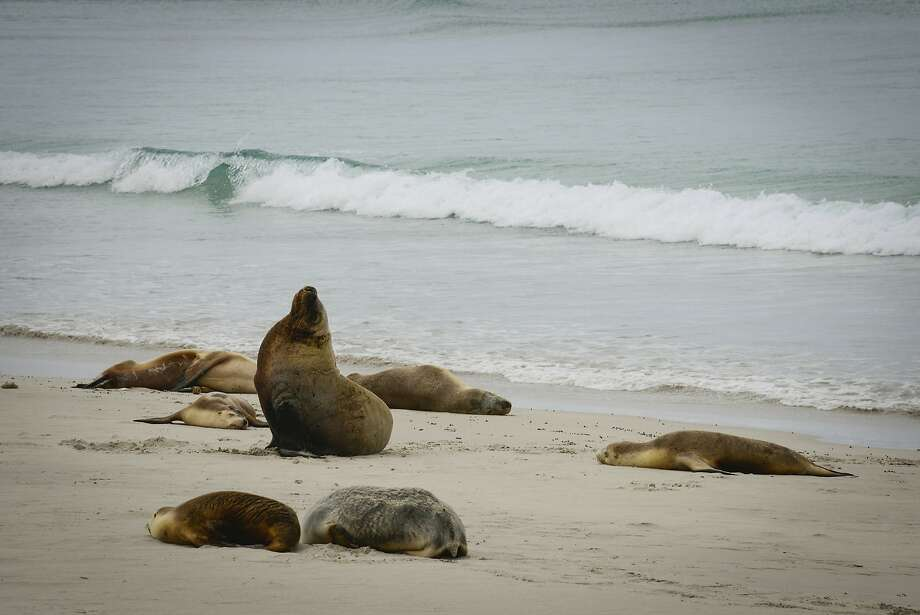 Seal Bay is home to nearly 1,000 Australian sea lions. Photo: Jill K. Robinson, Special To The Chronicle
