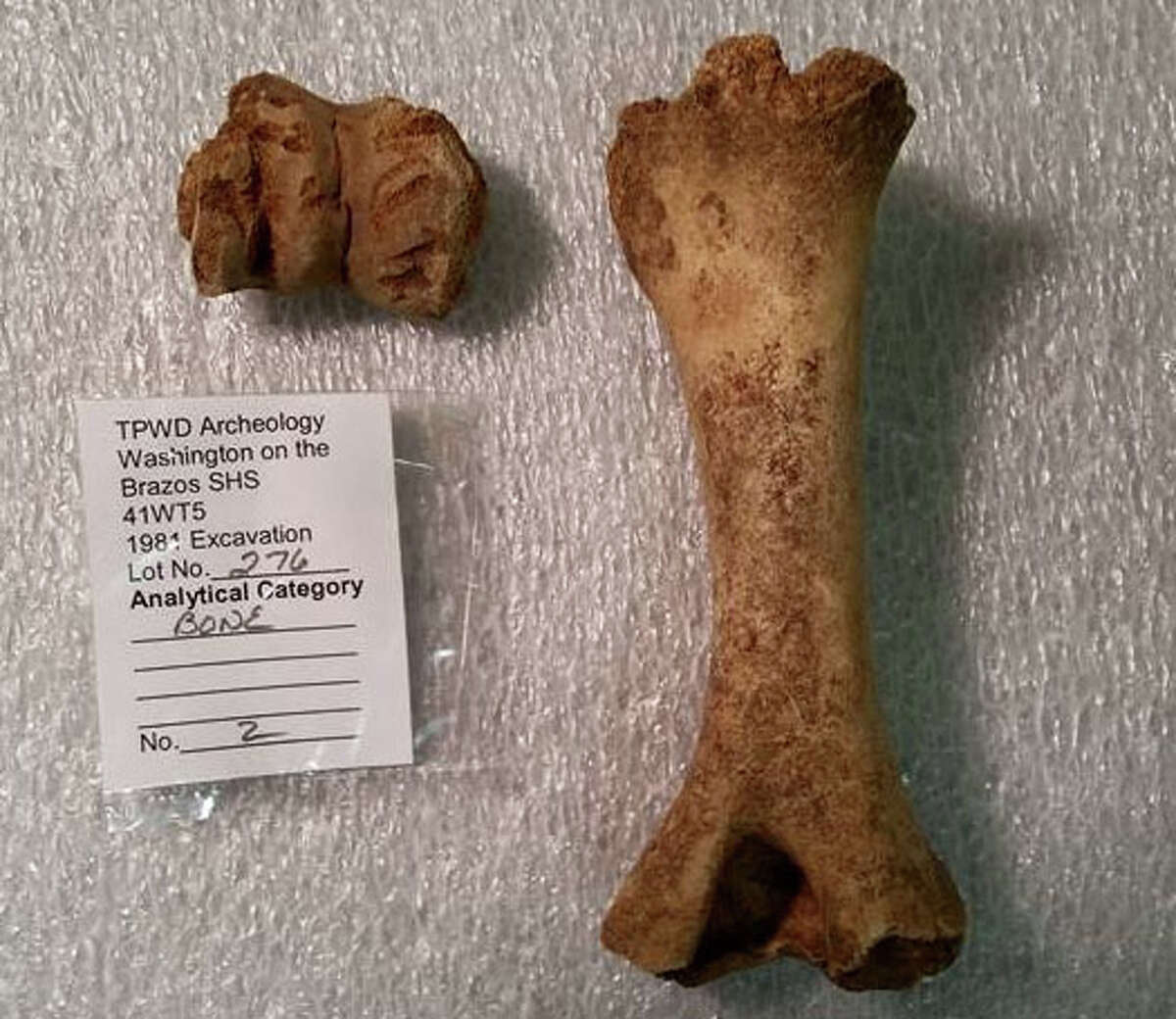 One Park Ranger believes this bone belonged to a pig, due to how stout it is.