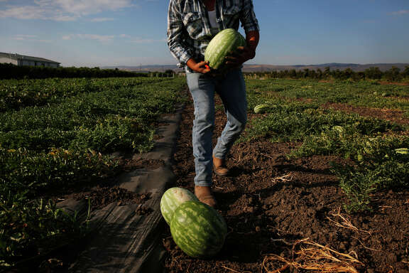 Alberto Flores-Duran harvests melons on his farmland in Tracy. Flores says his small business is taking a pounding from the drought and enforcement actions against the West Side Irrigation District.