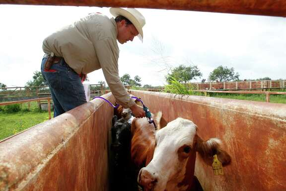 James McAllen applies a dewormer for cattle during a roundup of 200 head of cattle on the McAllen Ranch July 07.