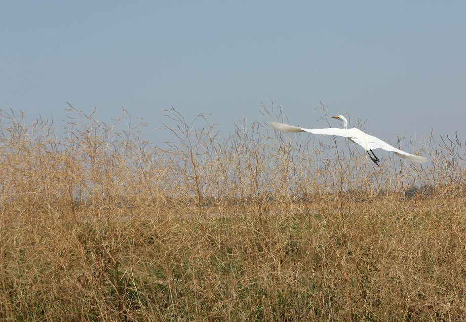 Above: A snowy egret takes off from a marsh in Colusa. Rice farmers in the area use their venerable water rights to help the ecosystem thrive. Photo: Connor Radnovich / Connor Radnovich / The Chronicle / ONLINE_YES