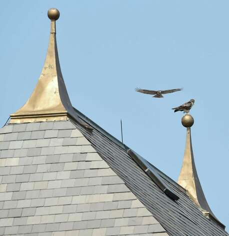 Two hawks find the spires above the Clubhouse a playground at the Saratoga Race Course Sunday afternoon July 26, 2015 in Saratoga Springs, N.Y.    (Skip Dickstein/Times Union) Photo: SKIP DICKSTEIN