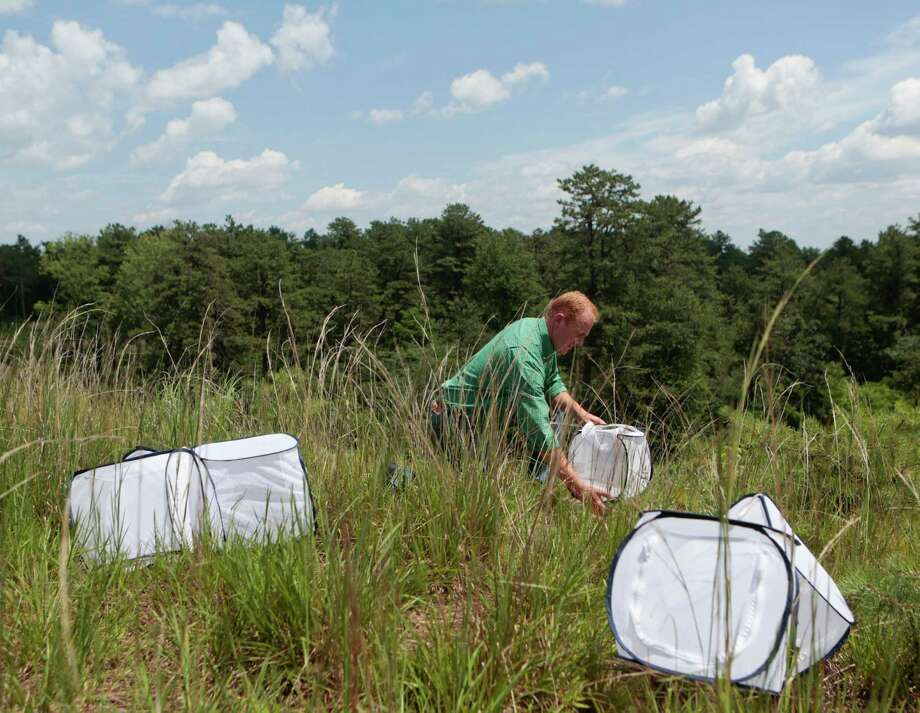 In this Friday, July 10, 2015 photo, Neil Gifford, conservation director at the Albany Pine Bush Preserve Commission, releases Karner Blue butterflies at the preserve in Albany, N.Y. More than two decades of habitat restoration and breeding programs have put the endangered Karner blue butterfly on track to recovery in the New York pine barrens where it was discovered by Russian author Vladimir Nabokov. The silvery blue, postage stamp-size butterfly is also making a comeback in parts of Ohio and New Hampshire where it was thought to have been wiped out before 2000. Populations have declined but persisted in Wisconsin and Michigan.  (AP Photo/Mike Groll)  ORG XMIT: NYMG204 Photo: Mike Groll / AP