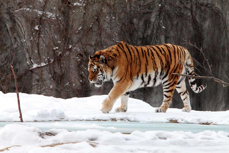 Siberian tigers poaching - photo#35