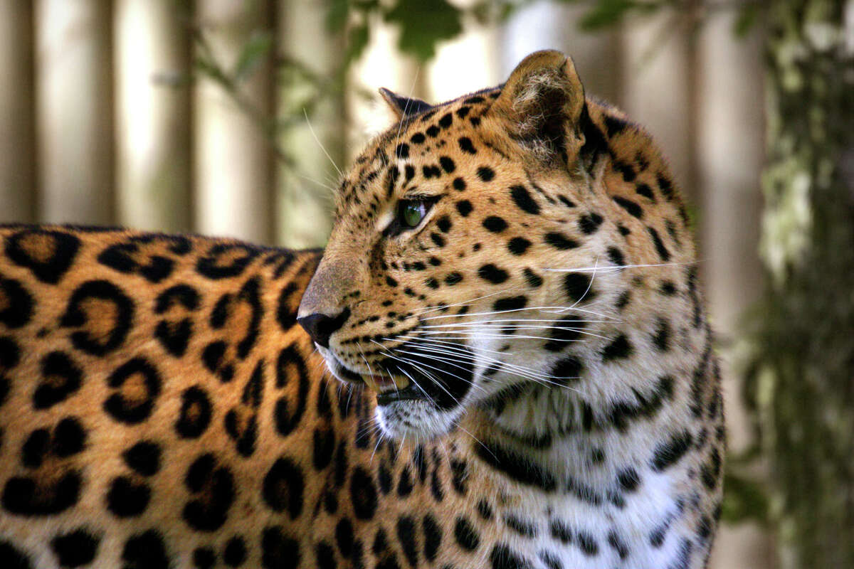 Amur leopard According to the World Wide Fund for Nature, the species of leopard found in Russia is