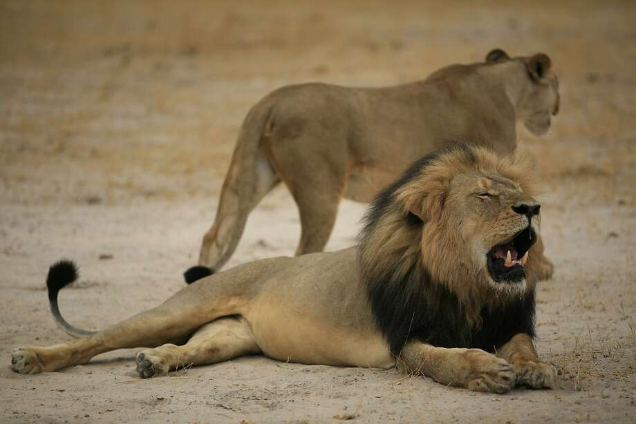 "This handout picture taken on October 21, 2012 and released on July 28, 2015 by the Zimbabwe National Parks agency shows much-loved Zimbabwean lion ""Cecil."" Photo: -, AFP / Getty Images"